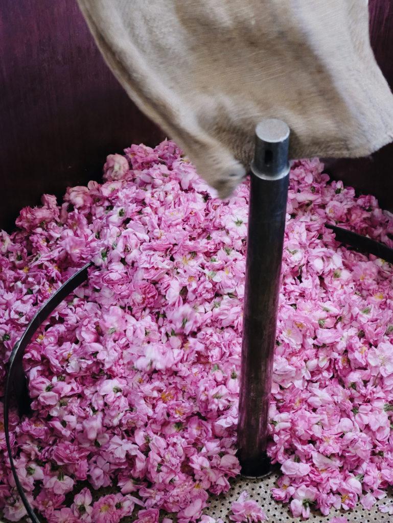 Beautyblog-Mairosenernte-Produktion-Chanle-in-Grasse